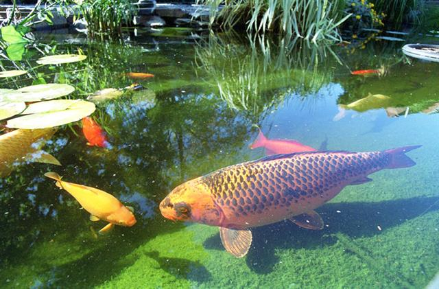Koi doing what koi do best. symptoms of copper toxicity are gasping at the surface and disorientation.